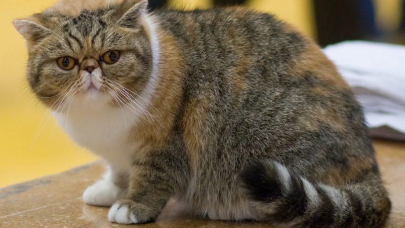 Exotic Shorthair: un gatto coccolone!
